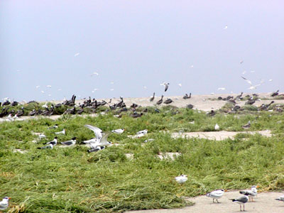 After Hurricane Claudette; many of the birds flocked together on the high-ground, even after the storm was over.