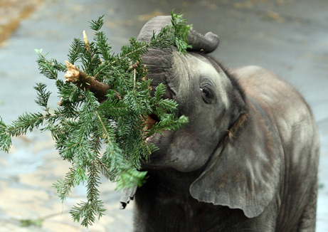 Elephant Eating Christmas Tree