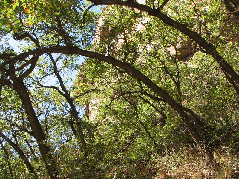 Oak Canopy, Calf Creek