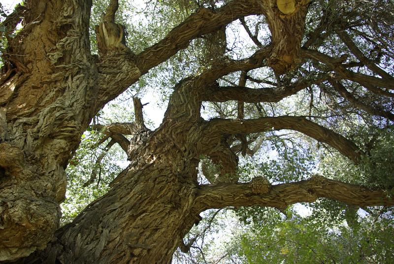 Old Cottonwood, Fruita