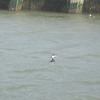 Western Grebes in the marina