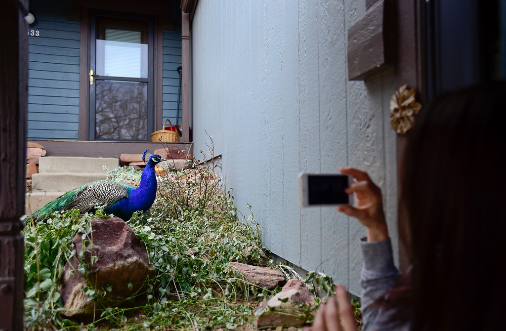 . Tamara Star photographs a pair of peacocks near the front steps her home in Shanahan Ridge in Boulder, Colorado on Jan. 5, 2018. (Photo by Matthew Jonas/Times-Call)