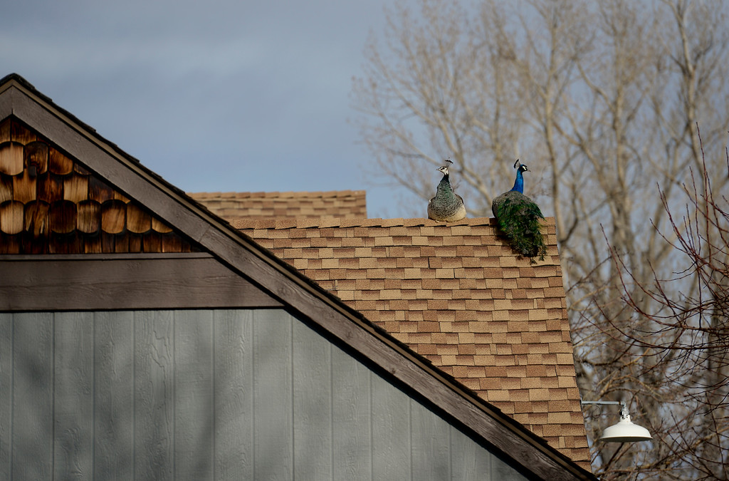 . A pair of peacocks are seen on the roof of a building in Shanahan Ridge in Boulder, Colorado on Jan. 5, 2018. (Photo by Matthew Jonas/Times-Call)
