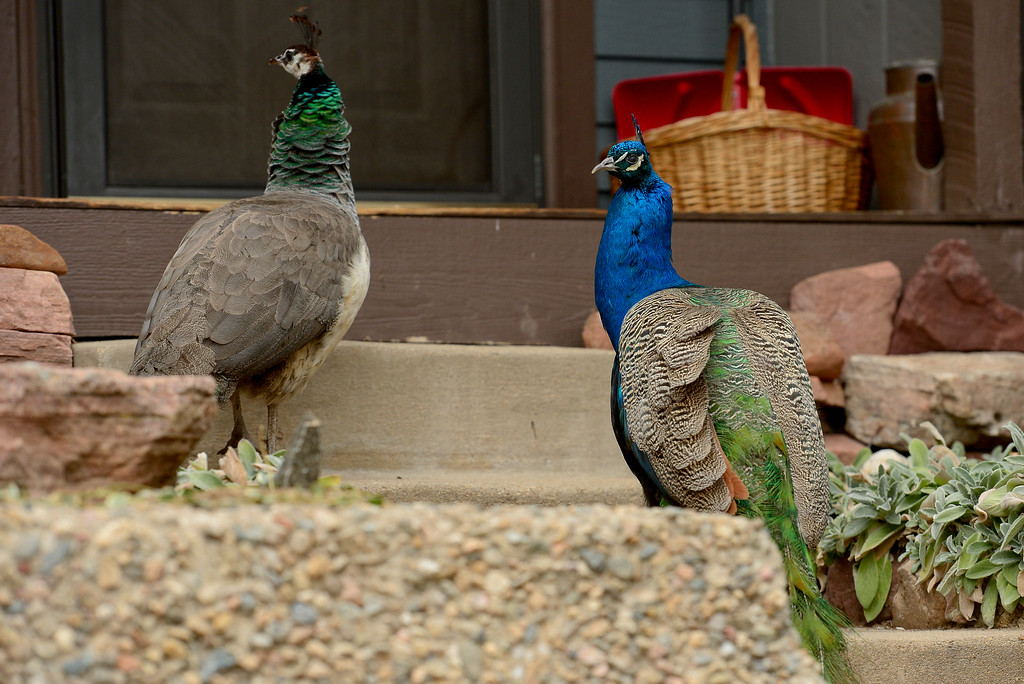 . A pair of peacocks are seen on the front steps of a condo in Shanahan Ridge in Boulder, Colorado on Jan. 5, 2018. (Photo by Matthew Jonas/Times-Call)