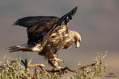 Aigle impérial ibérique/Spanish imperial eagle