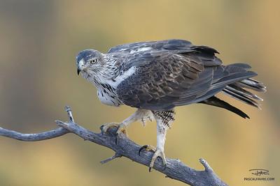 Aigle de Bonelli/Bonelli's eagle