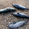 March 6: Local fishermen offer three skipjacks and a yellowtail for sale at Playa Bonanza.