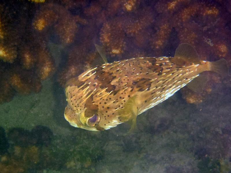 March 5: Puffer fish at Playa Bonanza.