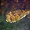 March 5: Puffer fish at Playa Bonanza.