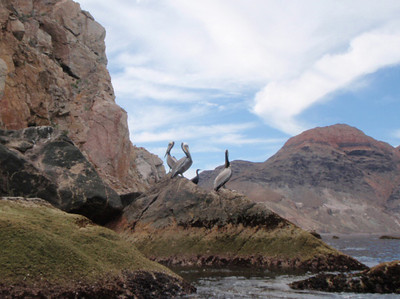 March 6: Three pelicans and a cormorant share a rock in the Punta Lobos area.