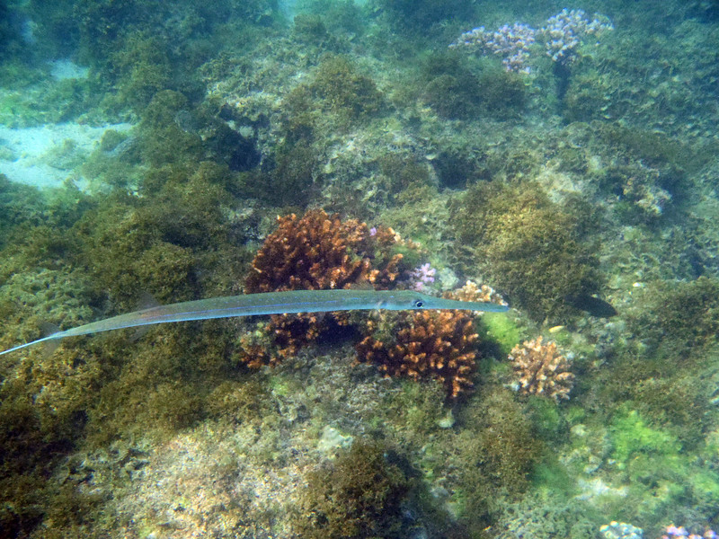 March 5: Needlefish at Playa Bonanza.