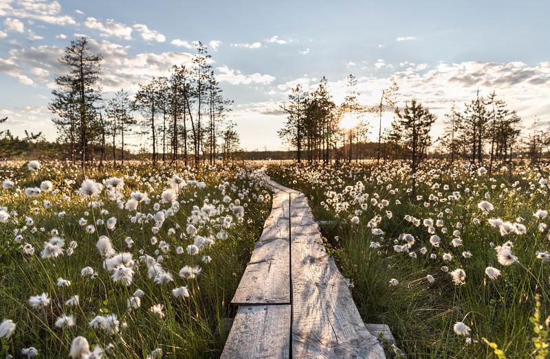 Cottongrass in the Midnight sun