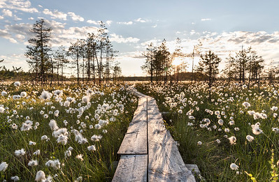 Cottongrass in the Midnight sun