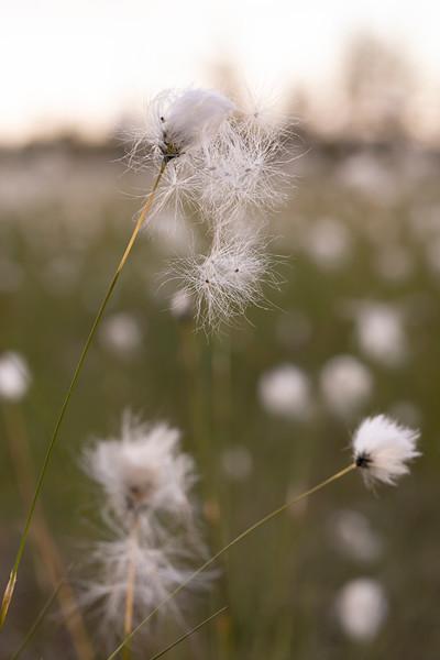 Cottongras