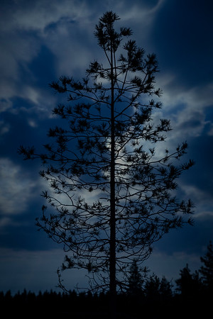 The Pine and the Moon