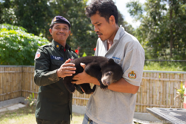 Free the Bears helping a rescued bear, confiscated by the WRRT, a team jointly run by Wildlife Alliance and the Cambodian government. Without co-operation, none of this would be possible.