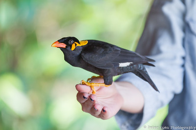 Released mynah returns for human company.