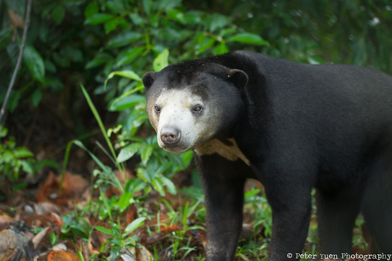 Sopheap the twice-rescued sun bear