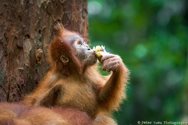 A baby orangutan eating supplementary food provided by the sanctuary.