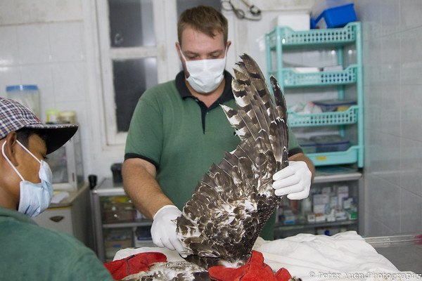 ACCB assessing a rescued eagle.