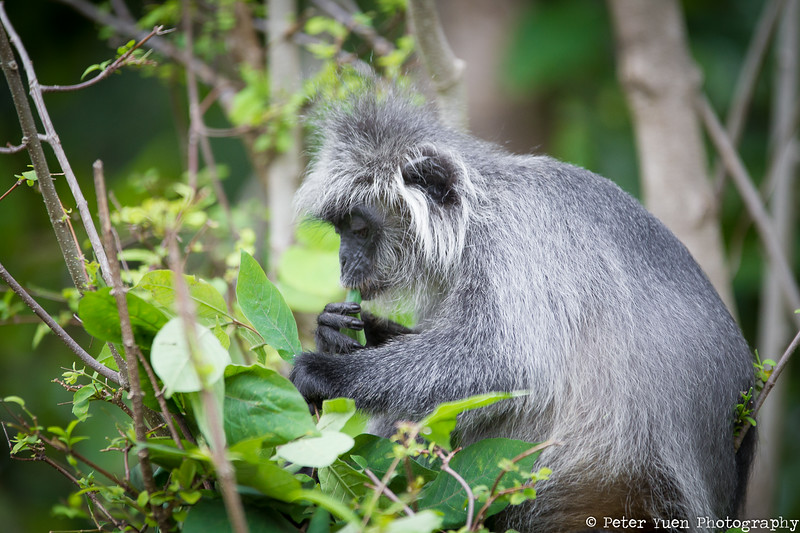 Langur munching on leaves