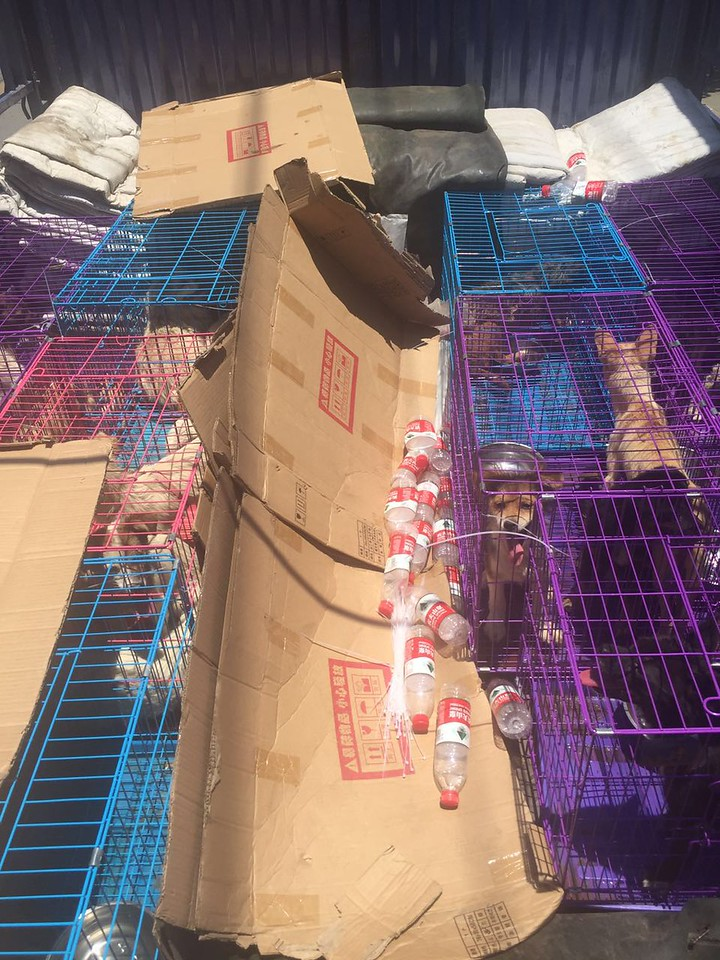 The abandoned dogs being rescued in Yulin in new transport cages. <br /> Photo courtesy of Vshine