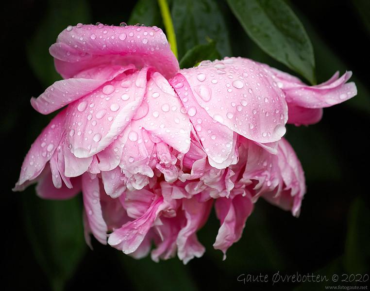 Peon i regn