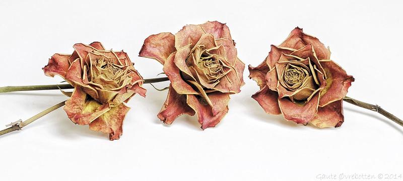 Tørre roser, framleis roser. <br /> (Dry, but still roses)