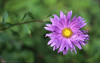 Asters as the Helios 44-2 f2 lens sees it.