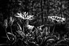 """Gazenia. <br /> Testing the """"new"""" Helios 44-2 58mm f2 lens in my garden. Black and white in Silver Efex Pro 2"""