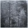 Tørrfuru i frost