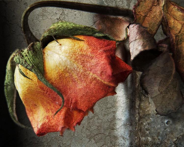 Trøyt rose ... (versjon 3)<br /> Tired rose III
