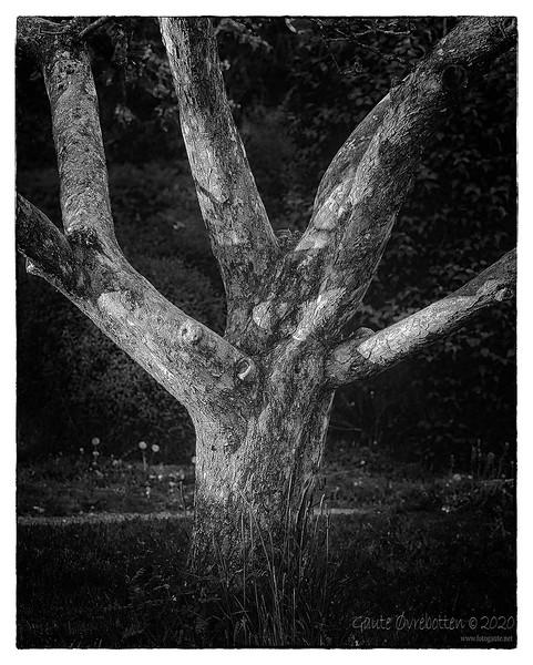 Epletre (Apple tree)