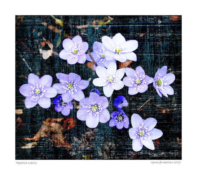 Blåveis - Hepatica nobilis