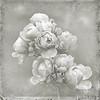 Oktoberroser <br /> Last rose of summer (3rd of October)