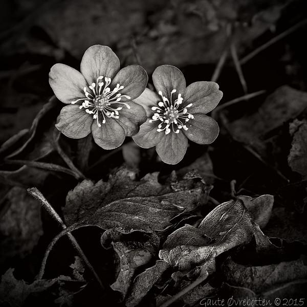 Snart er det vår! (mars-sukk). Re-edit (svart-kvit) av foto frå 2010.<br /> Longing for spring (per early march). BW re-edit of a 2010-photo.
