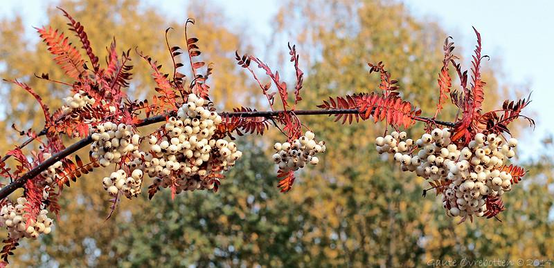 Sorbus koehneana (Kvitrogn)<br /> White-fruited Chinese Rowan