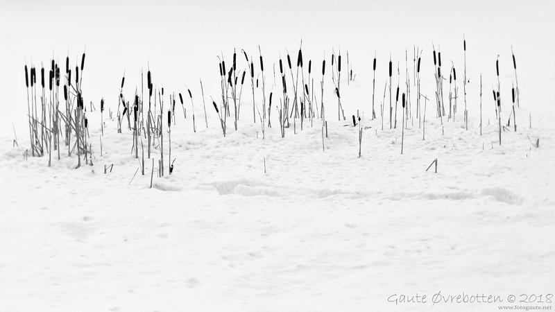 Dunkjevle<br /> Reeds