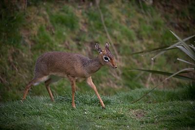 Runaway Bambi