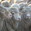 Friend sheep