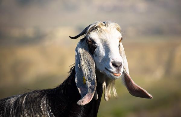 503 Good Goat