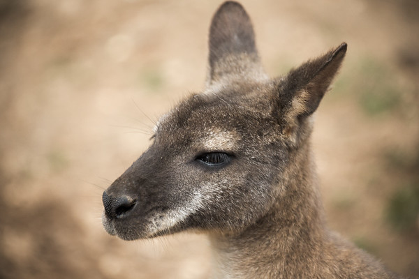 452 - Lonely Wallaby-2