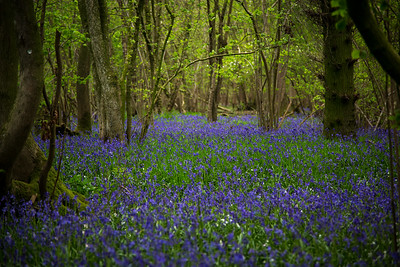 202 - Blue Bells Run Wild