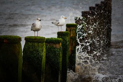 Seagulls, Southwold