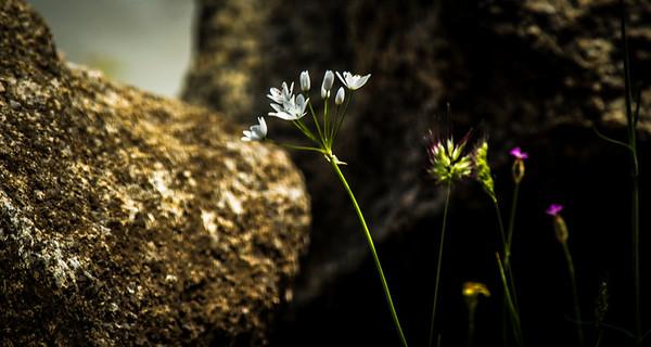 White Wild Flowers Wood Anemone, Sardinia