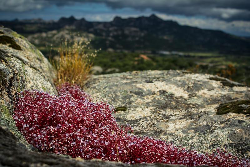 Wild Red Flower On The Rock, Sardinia