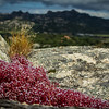 Wild Red Flower On The Rock, Sardinia