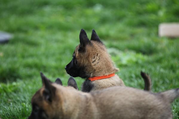 Essor Puppies 5_19_2011