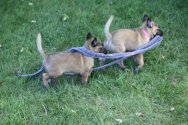 Essor / Jack puppies 9_11_2012