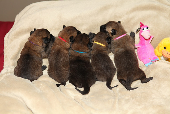 Essor / Jack puppies 8/6/12            9 days old